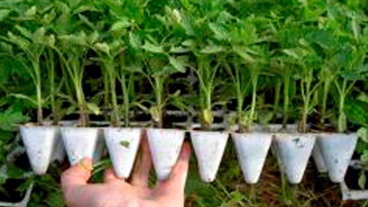 ТОМАТЫ РАСТУТ В 2 РАЗА БЫСТРЕЕ ! НОВЫЙ МЕТОД ! Фитильный полив рассада томаты перец бакладаны петуния цветы выращивание