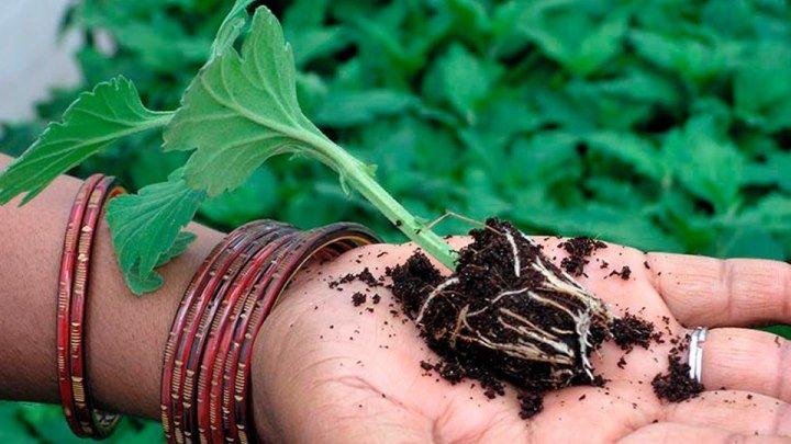 Очень простой способ пикировать рассаду Хризантемы ! Выращивание из семян посадка пикировка удобрени