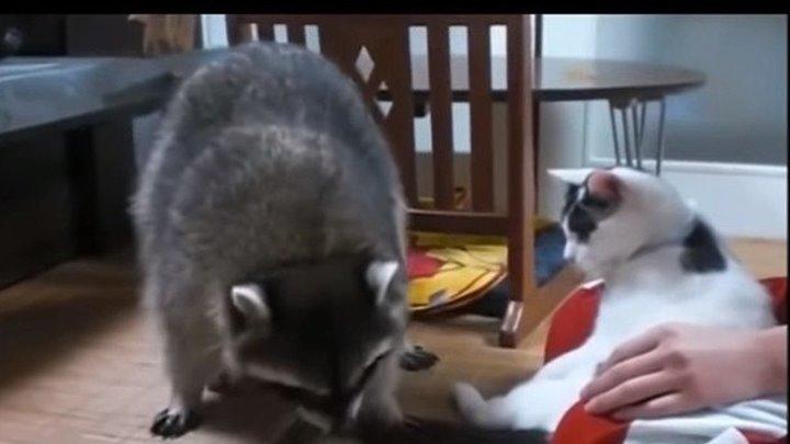 Милые Еноты и Кошки!