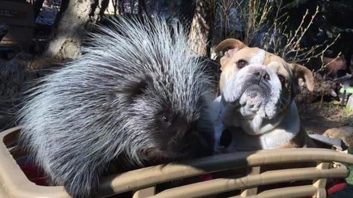 Маленький дикобраз рос среди собак. Посмотрите, что стало спустя годы