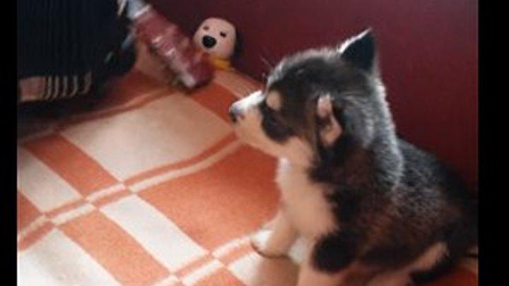 Подарил отцу щенка теперь поют вместе..