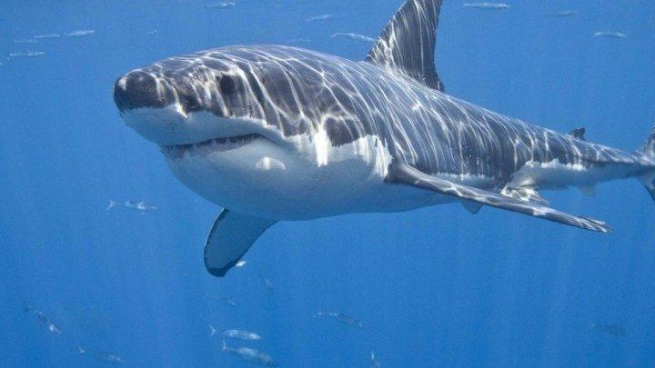 Дикая Южная Африка. По следам белых акул (Документальные фильмы, передачи)