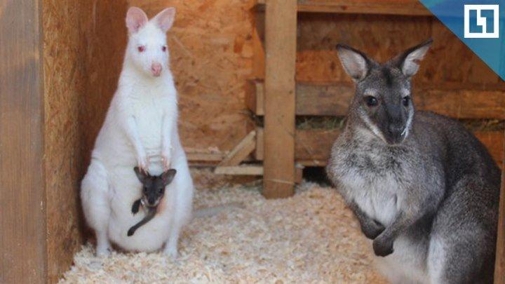 У кенгуру-альбиноса родился малыш