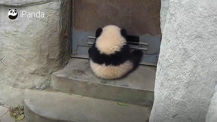 Маленькая панда катается на двери