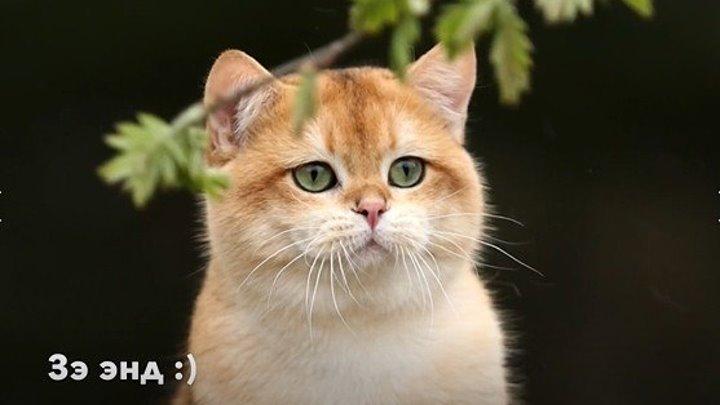 Британский кот на прогулке
