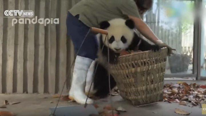 Панды мешают убирать парк! Прикол!