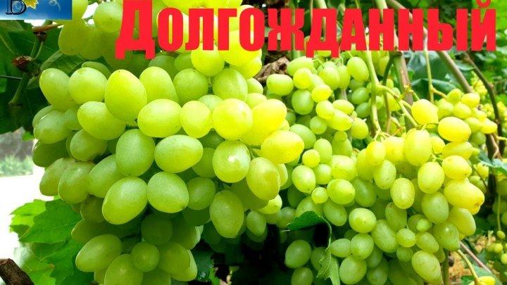 Виноград Кишмиш Долгожданный Обзор сорта на 27.07 ( Grapes Dolgojdanniy)