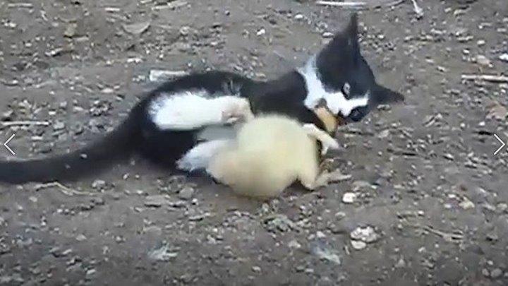 БОЙ Кот и Утка - Смотрим до конца - кто кого