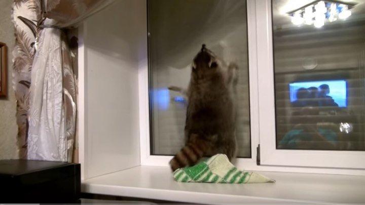 Енот моет окно ! Смешные еноты !