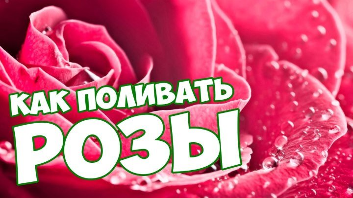 Как правильно поливать розы? 🌹 Уход за розами 🌹 Цветы 🌺