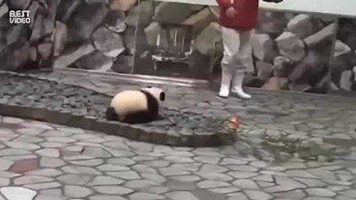Крошка панда мешает фотографировать