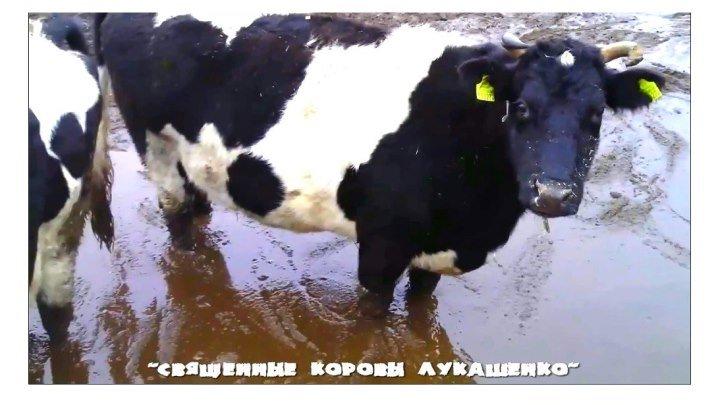 """""""Священные коровы Лукашенко""""..."""