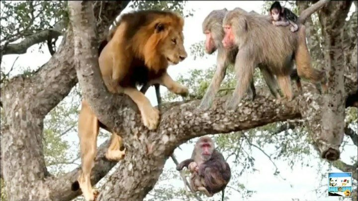 Невероятно! Смелые обезьяны против льва, тигра и леопарда