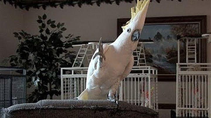 Смешные и талантливые попугаи! Прикольное видео!