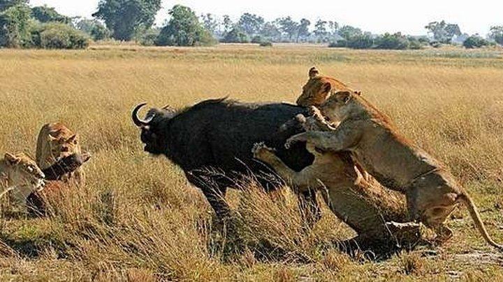 Самые опасные животные. Стайные охотники (2010)