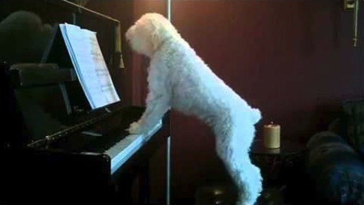 Собака играет и поёт