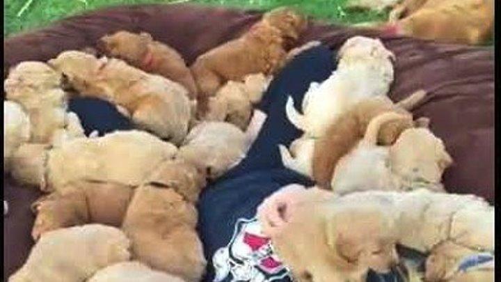 Очень милое видео. Много щенков.