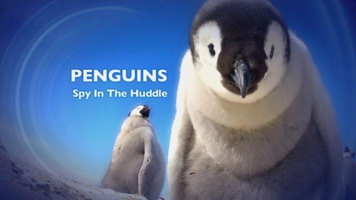 BBC. Пингвин: Шпион под прикрытием (3 серия. Взросление) / 2013 / BDRip (720p)