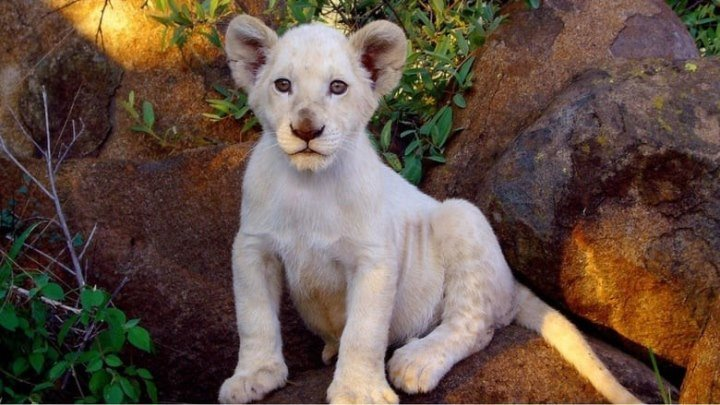 Белый лев. драма, cемейный