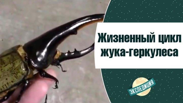 Жизненный цикл жука-геркулеса