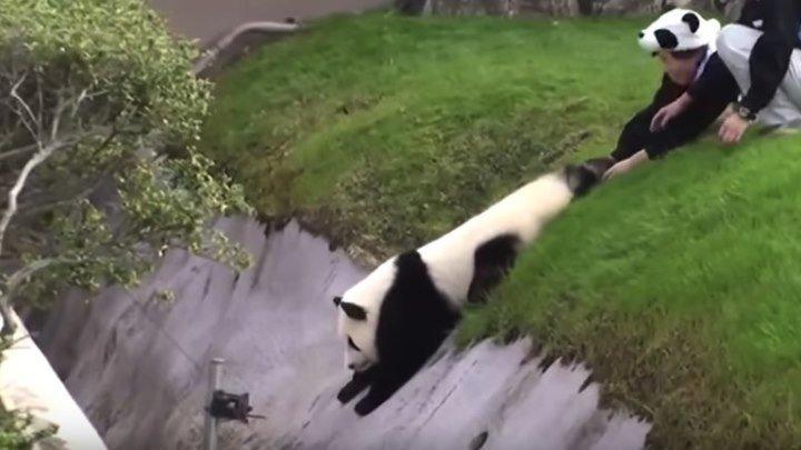 Панда хулиганит!
