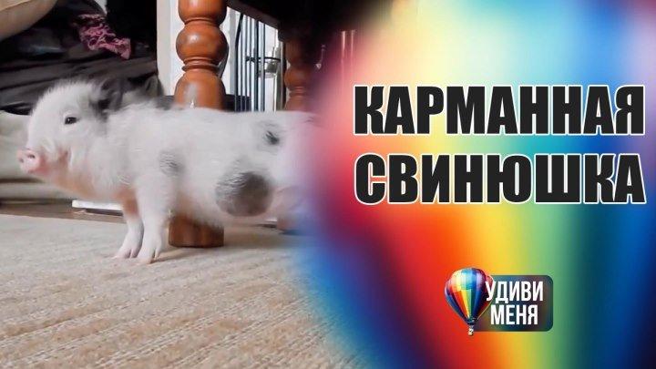 Карманная свинюшка