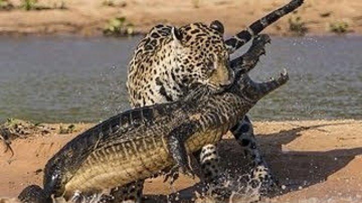 Ягуары против крокодилов (2017). документальный