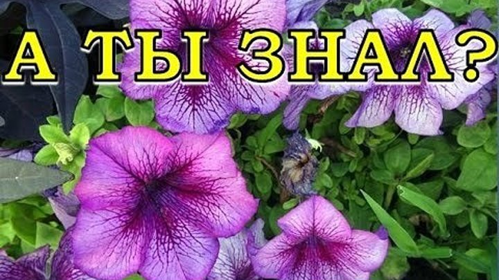 Формула обильного цветения петунии!