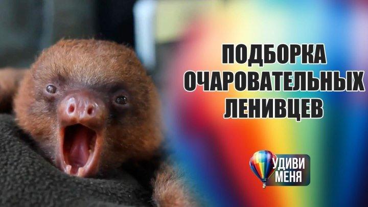 Подборка очаровательных ленивцев