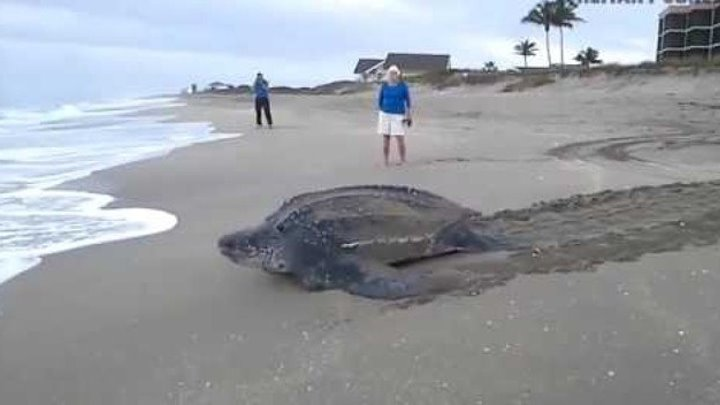 Гигантская морская черепаха размером с человека ползет к морю.