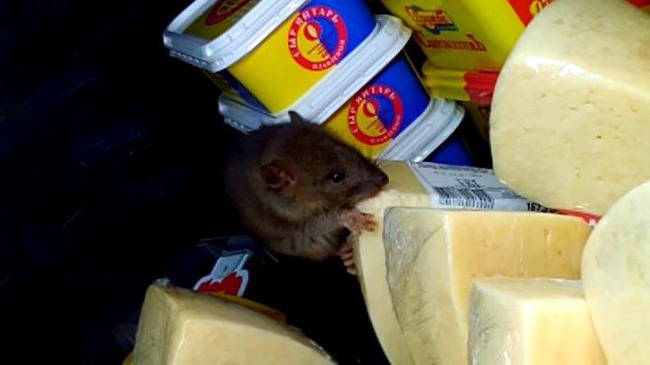 Крыса наелась сыра на глазах посетителей магазина