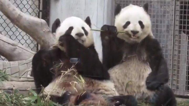 У соседа всегда вкуснее... или панда Джиа постоянно отбирает у мамы бамбук)