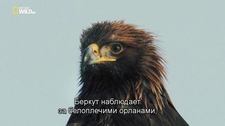 """Реальные """"Злые птицы"""" (документальный фильм, 2014)"""