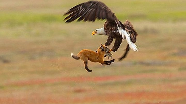 Орлан отжал у лисы кролика