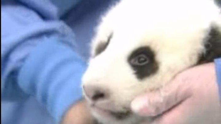 Умиляющее зрелище: медосмотр детеныша панды