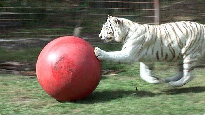 Белый тигр играет с мячом))