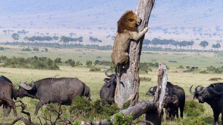 Буйволы против львов: смертельные схватки в саванне