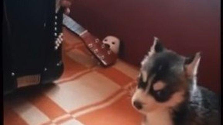 Подарил отцу щенка хаски - теперь поют вместе)