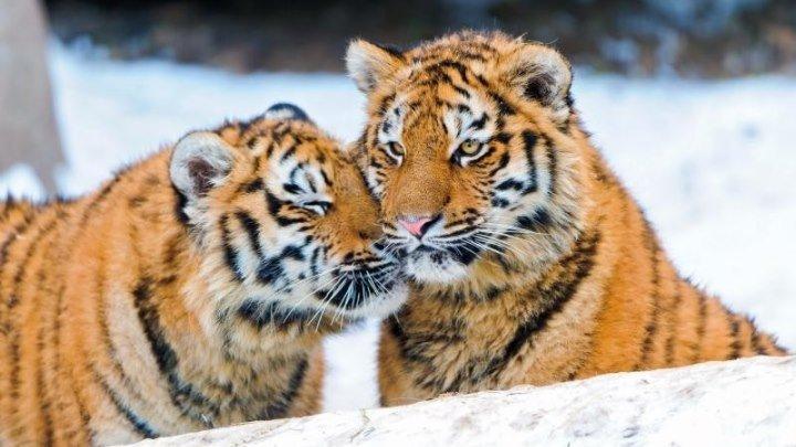 Амурский тигр. Путь к священной горе (Россия 2016 HD) Документальный