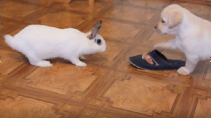 Щенок и кролик знакомятся