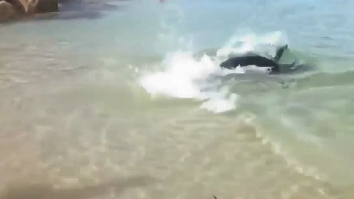 Морской лев на пляже ловит рыбу