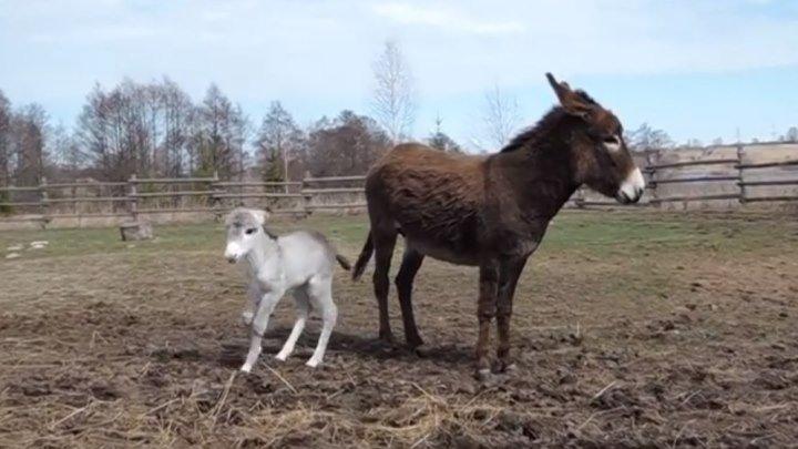 Маленький ослик с мамой на прогулке. Милота!!!