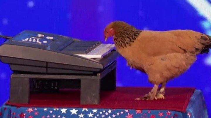 Курица-пианистка!