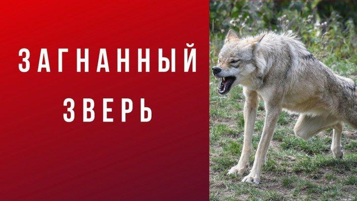 Христианский стих: Загнанный зверь. Автор: Борис Белозёров.