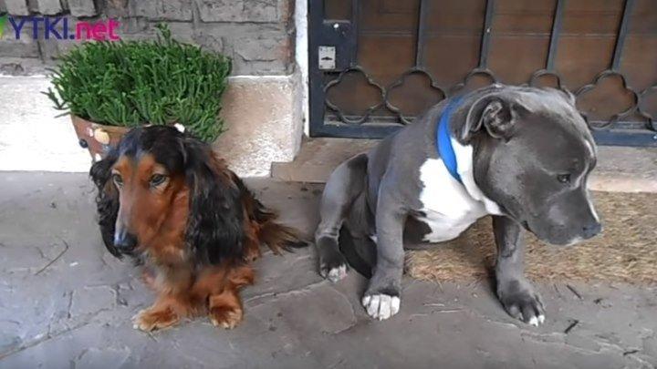 """Допрос двух собак """"Кто съел тапок?"""""""