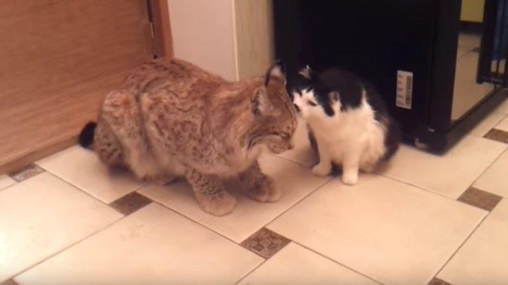 Домашняя рысь и кот) Милота!