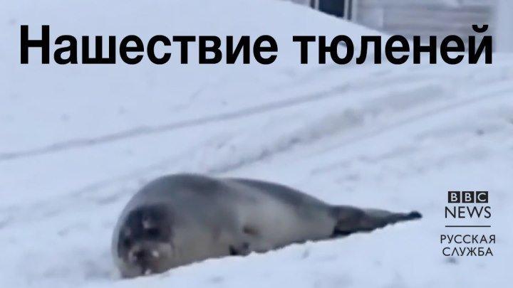 Нашествие тюленей
