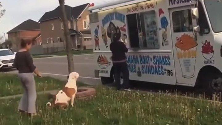Питбуль ждет мороженку