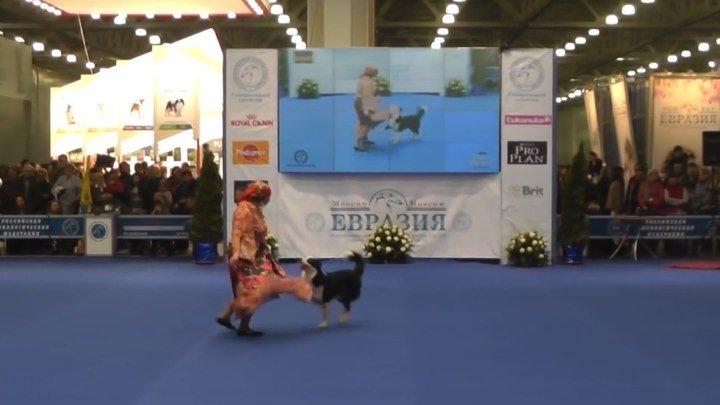 Танцы с собаками! Вот это умница собачка! Вы только посмотрите!!!