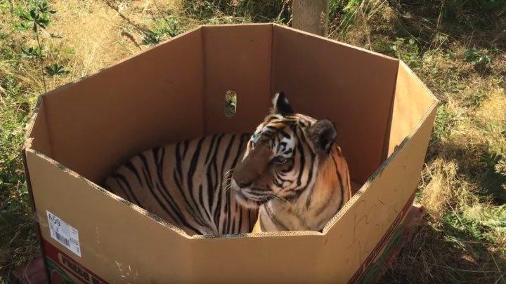 Тигры - тоже кошки! Доказано коробкой..))